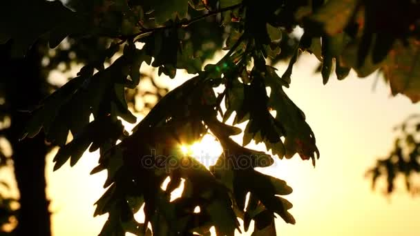 Dubový listy close-up na stromě v lese proti západu slunce pozadí. Sluneční paprsky procházejí listy dubu