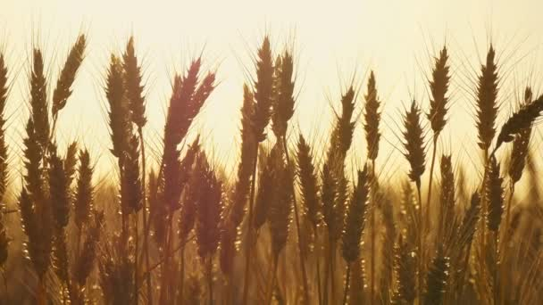 Wheat ears close-up