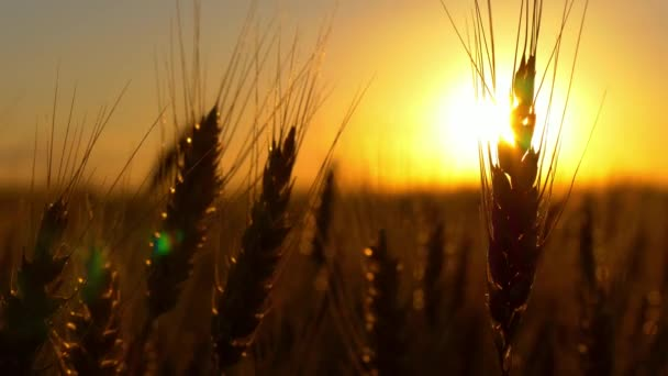 Wheat at sunrise or sunset in the wind