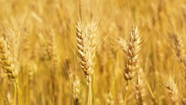 Wheat Grain - Wheat Fields