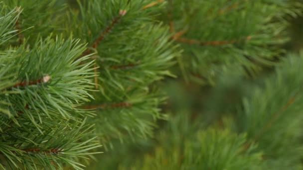 Green branches are fir or pine. Closeup of pine branch. Shooting video from a still camera, the focus moves from the foreground to the background