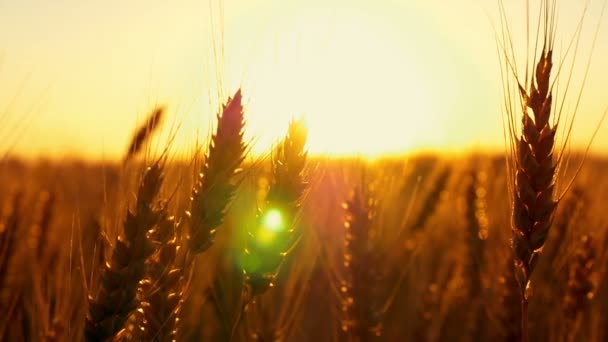 Wheat field in sunset. Ears of wheat close up