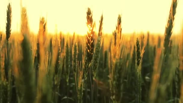 Cultivation of wheat.