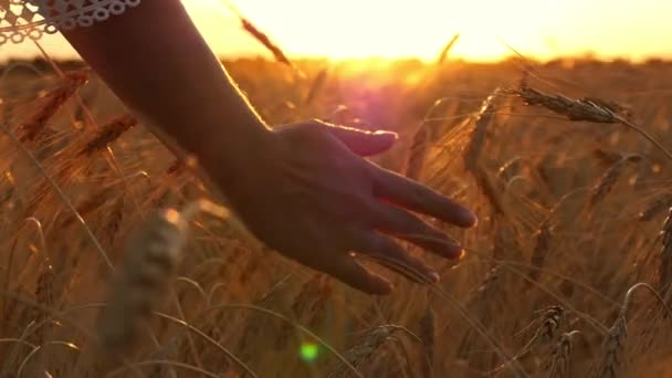 The hand of the woman moves, touching the wheat from the sunset. Girls hand close-up in slow motion on a wheat field