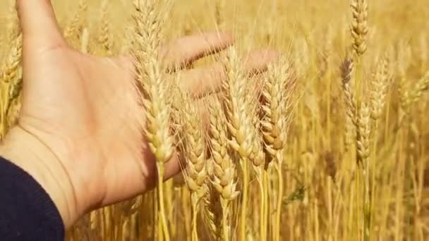 A mans hand close-up touching the golden spikelets of wheat.