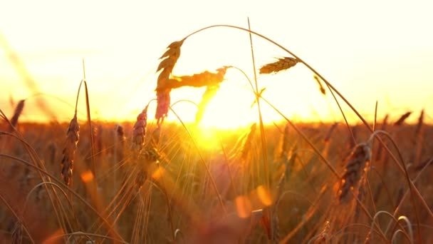 Gold wheat on a sunset background. Spikelets of mature wheat close-up