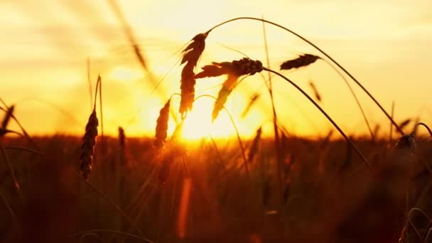 Gold wheat on a sunset background. Spikelets of mature wheat close-up. Wheat field