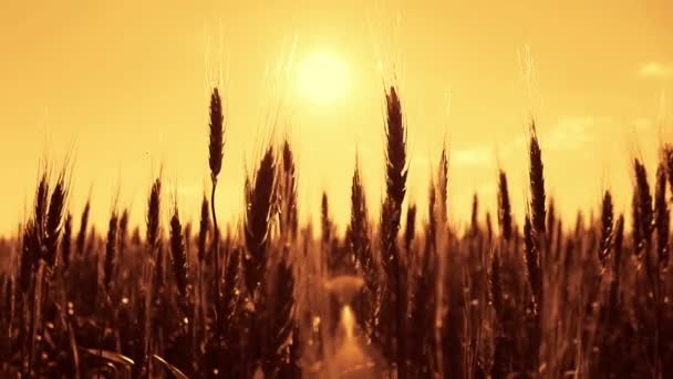 Silhouette of wheat on sunset background. Spikelets of mature wheat close-up