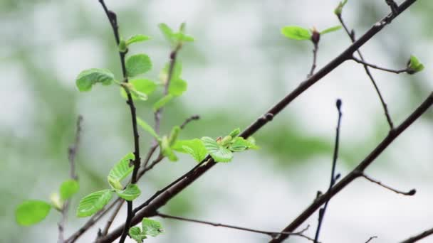 Close up of young green leaves in the rain.