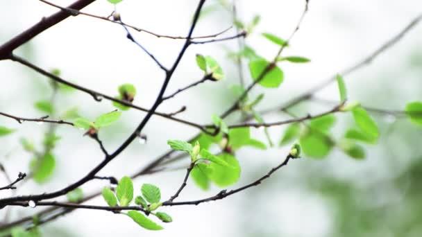 Vékony ág egy fiatal fából esős időben.