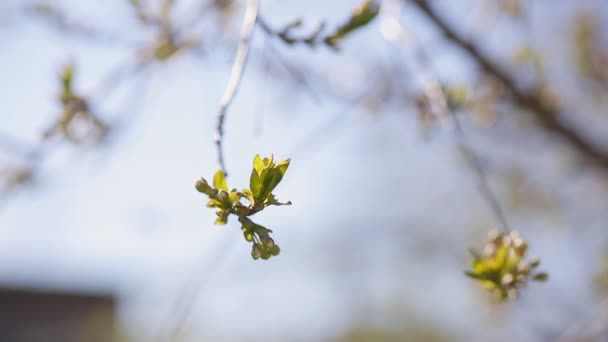 Spring cherry branch, young leaves and kidneys