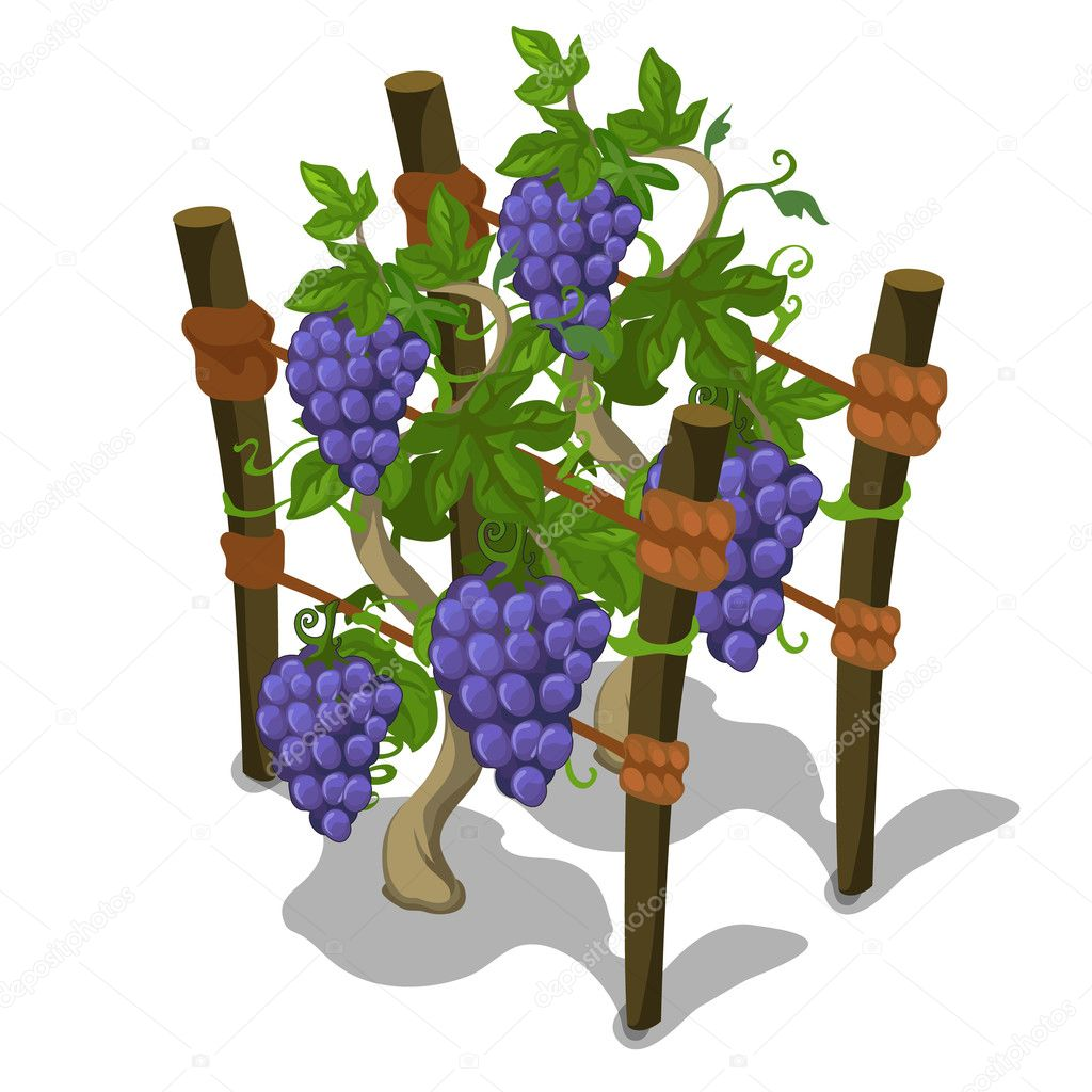 Planting and cultivation of grape. Vector