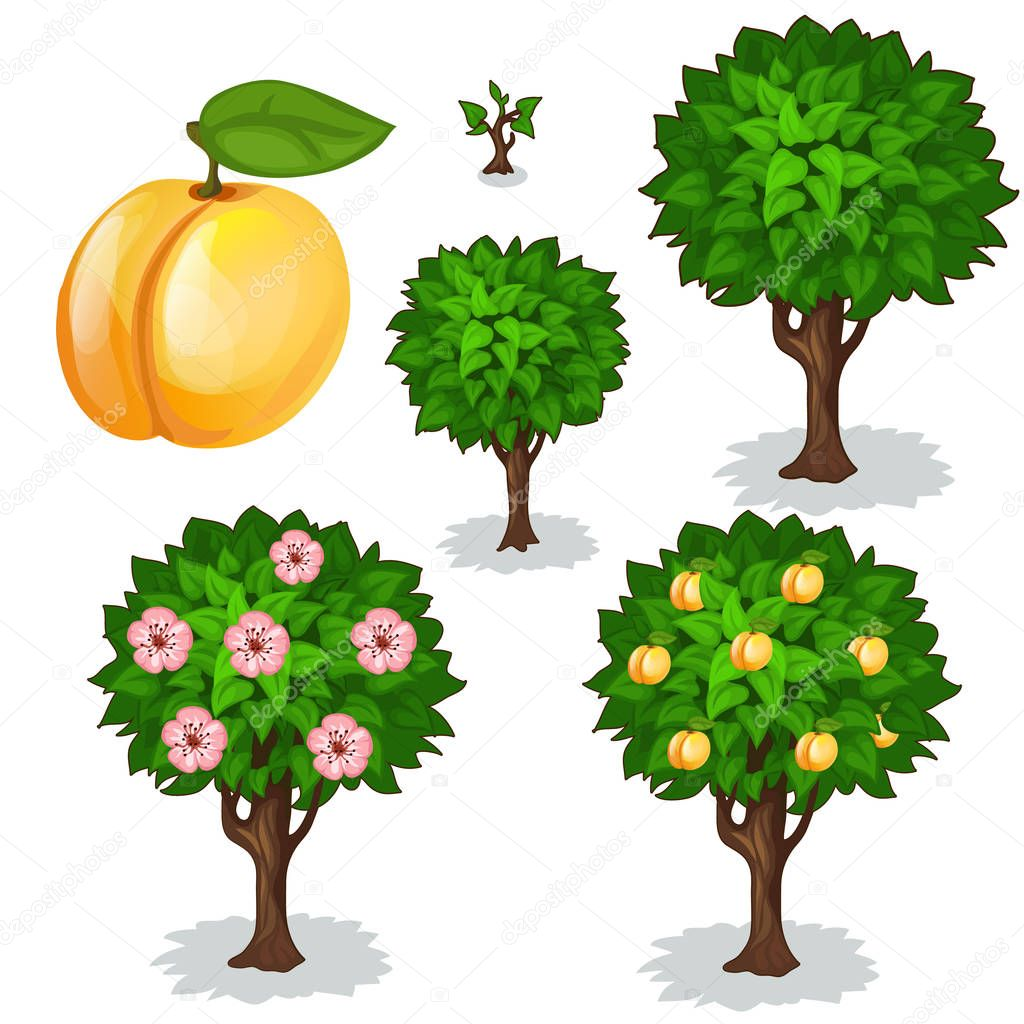 Planting and cultivation of apricot. Vector