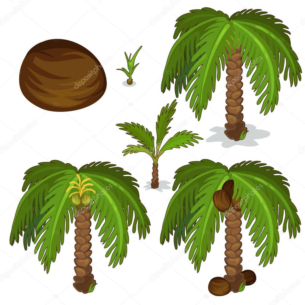 Planting and cultivation of coconut palm. Vector