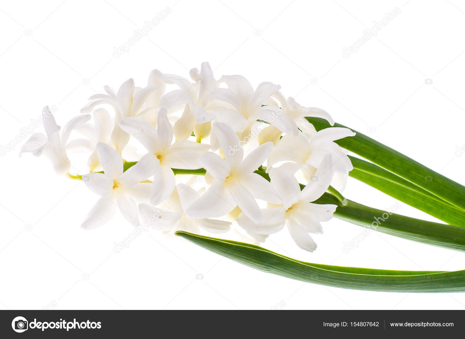 Single Cut Flower Of White Hyacinth Stock Photo Artcookstudio