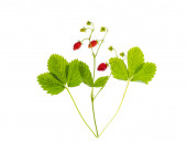 Strawberry branch with ripe red berries and green leaves. Studio Photo