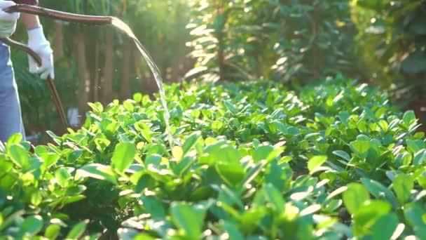 Gardener watering flowers in gardenhouse 4K