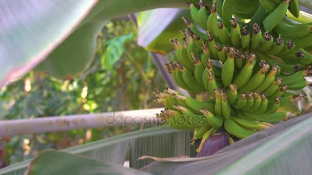 Look of banana trees in gardenhouse 4K