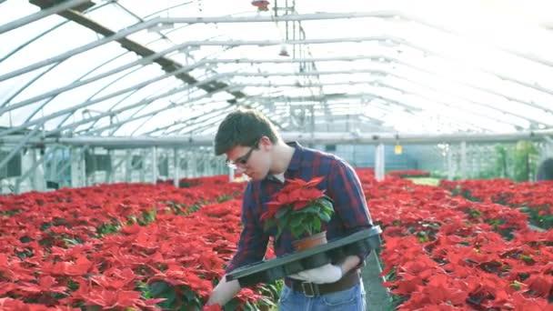 Gardener putting red flowerpots in gardenhouse 4K