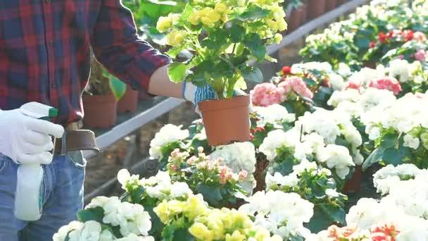 Gardener spraying flowers in gardenhouse