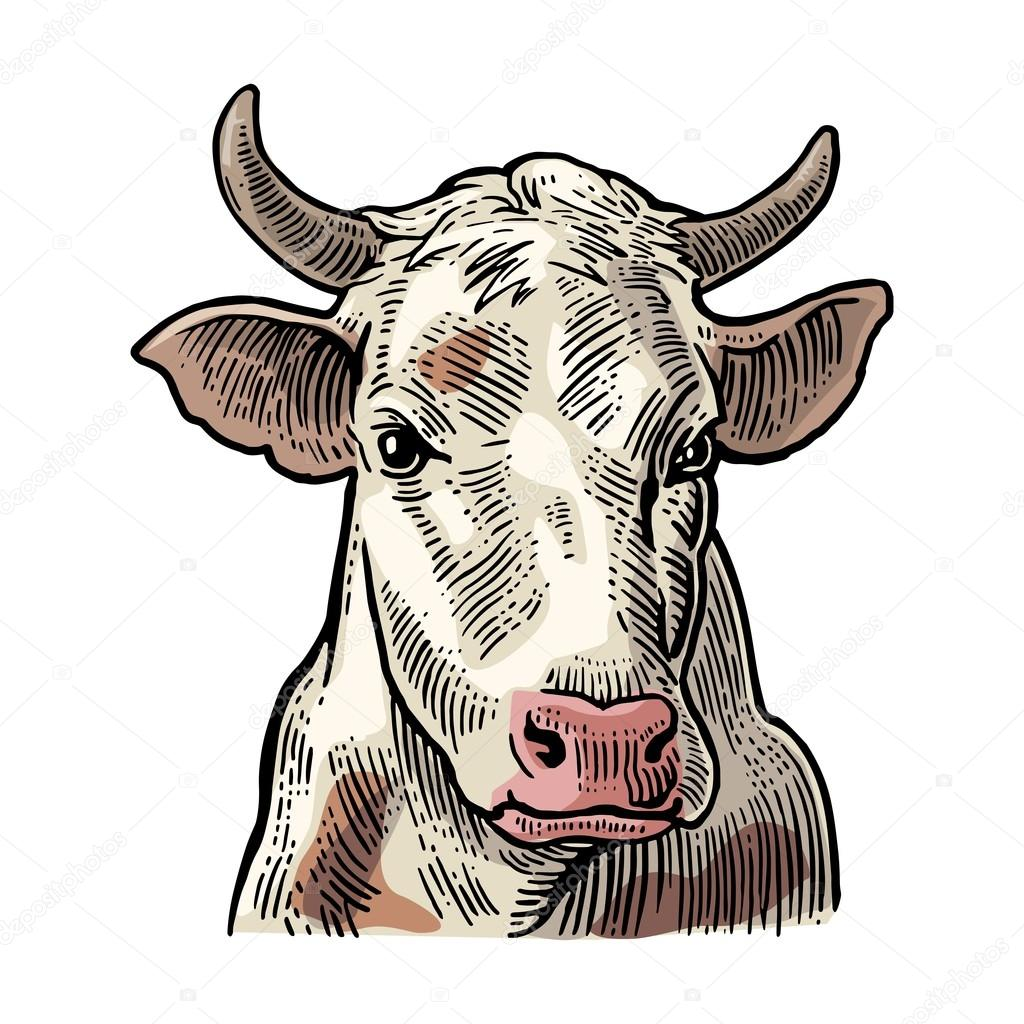 cows head hand drawn in a graphic style stock vector