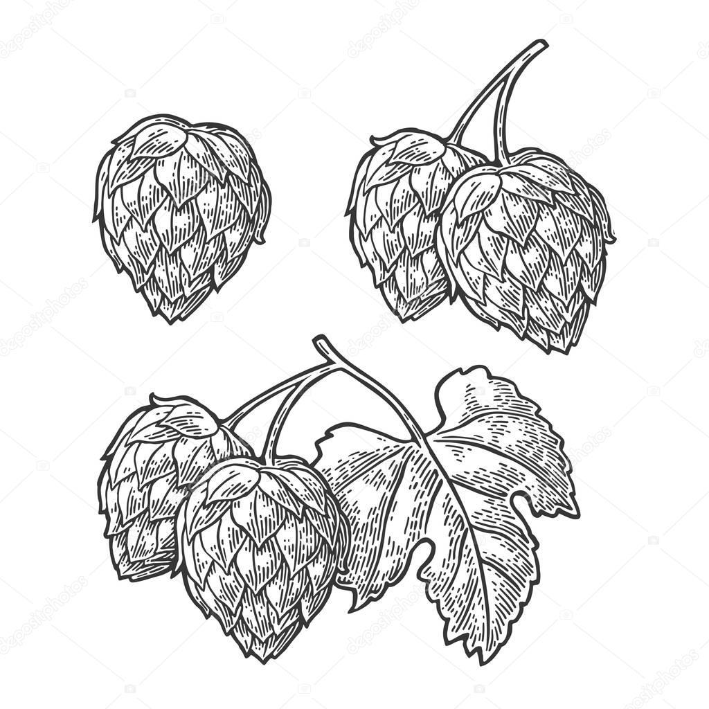 Hop herb plant with leaf. Vector vintage engraved illustration.
