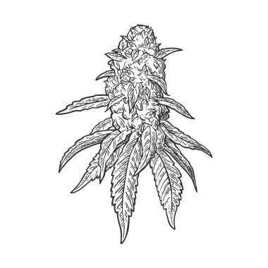 Marijuana mature plant with leaves and buds. Vector engraving illustration