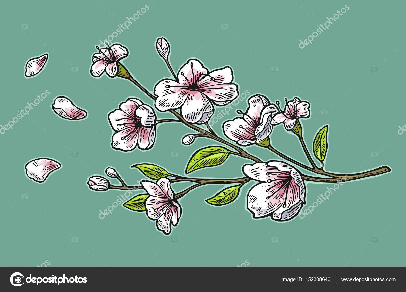 Sakura blossom. Cherry branch with flowers and bud. Petals falling ...