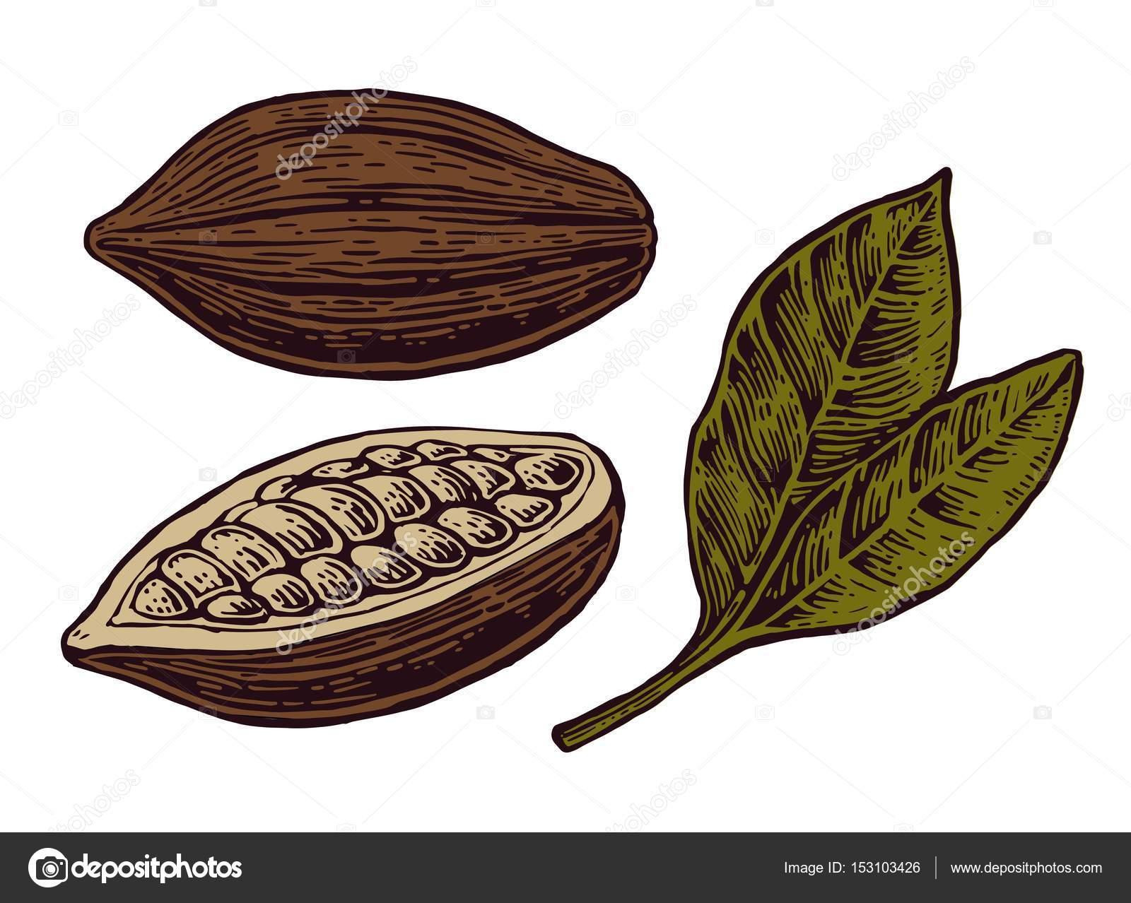 Blätter und Früchte der Kakaobohnen — Stockvektor © DenisPotysiev ...