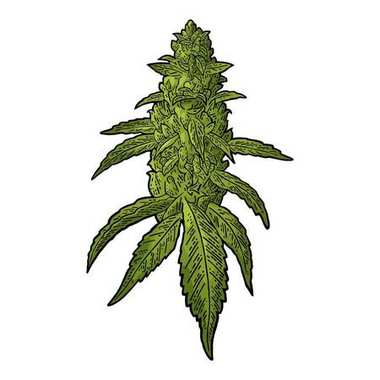 Marijuana mature plant with leaves and buds cannabis. Hand drawn design element. Vintage black vector engraving illustration for label, poster, web. Isolated on white background stock vector