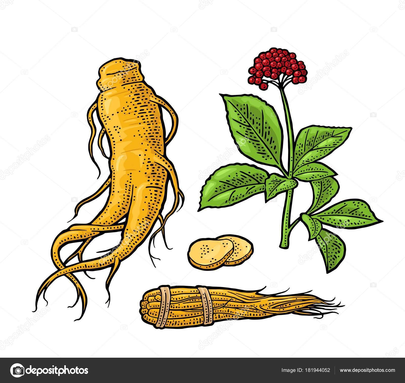 Ginseng de panax de raíz y hojas. Ilustración de vector grabado ...