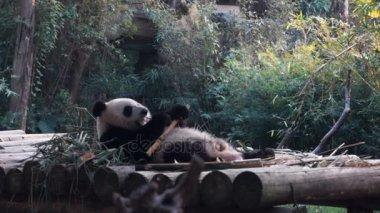 Baby panda bear eating bamboo