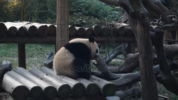 Baby panda in public zoo