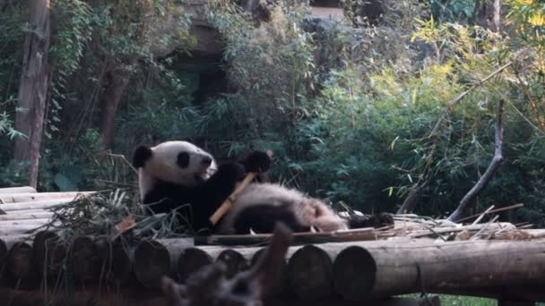 Baby panda bear eating bamboo