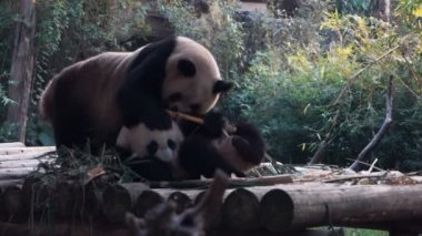 baby panda and mother in a zoo