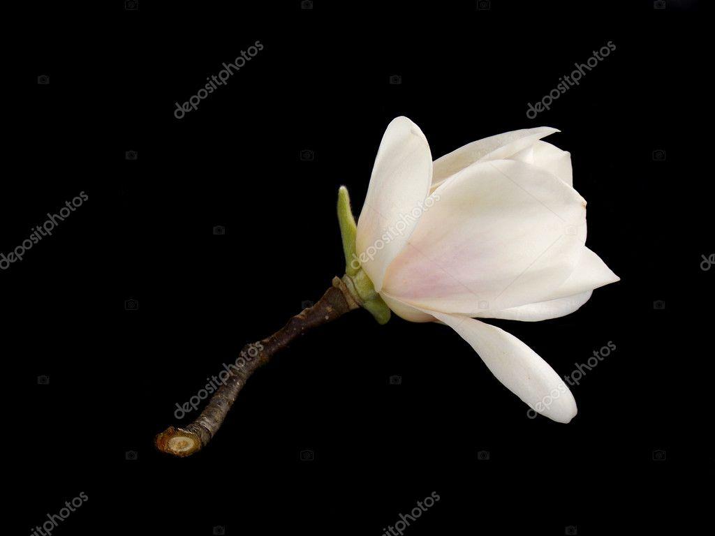 Beautiful White Magnolia Flower On Black Background Stock Photo