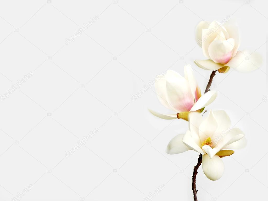 Beautiful white magnolia flower on white background stock photo beautiful white magnolia flower on white background photo by swisty242 mightylinksfo