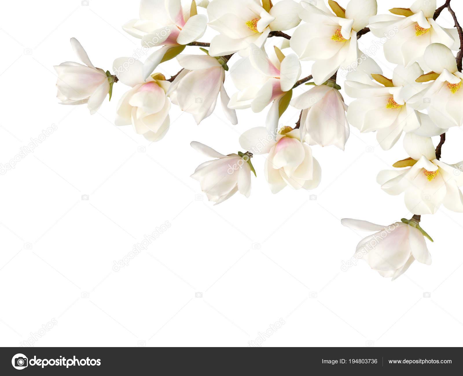 Magnolia Flower Bouquet Isolated White Background — Stock Photo ...