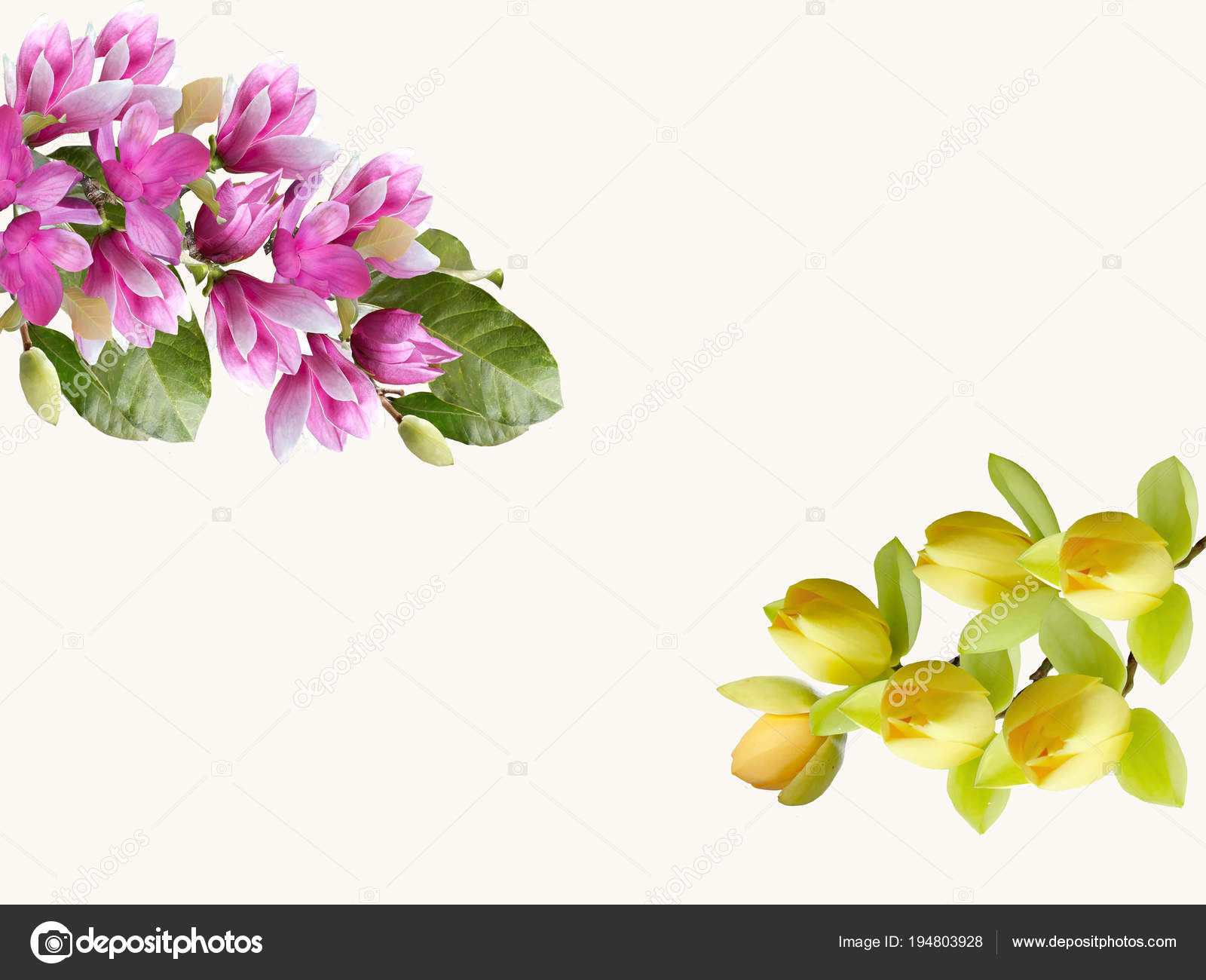 Magnolia Flower Bouquet Isolated White Background — Stock Photo ...