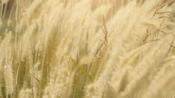 Dry feather grass in the sun lights in the summer sunset swinging in the wind. Small depth of field