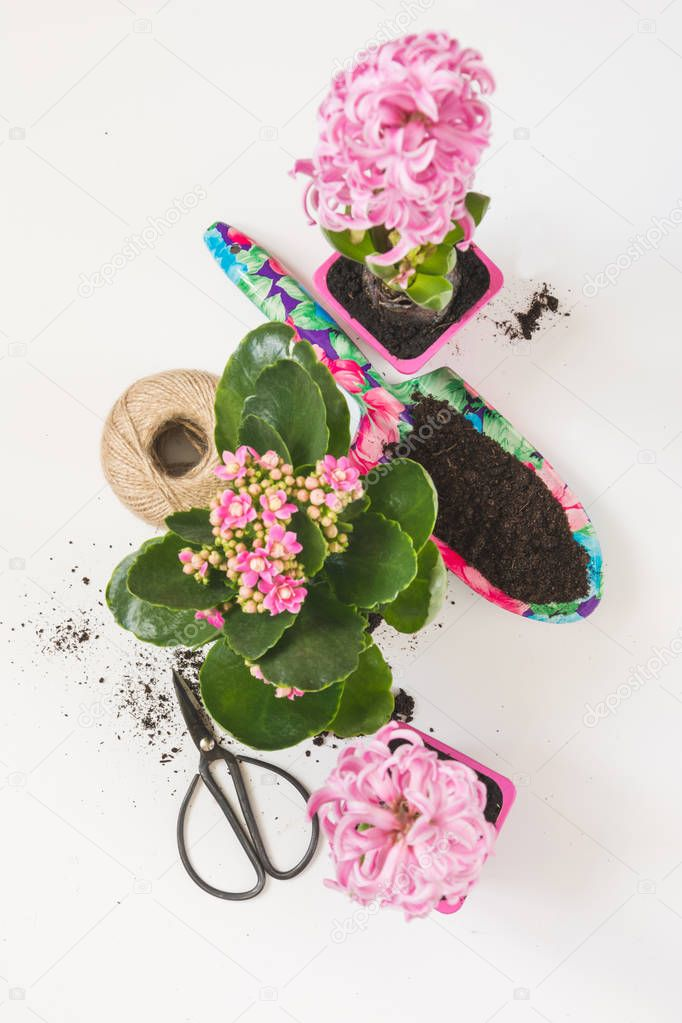 Spring gardening concept with pink kalanchoe, hyacinths and tools on white. Top view.