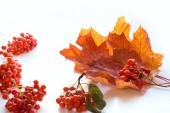 Autumn maple leaf isolated on white background.