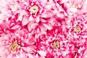 Closeup of bright pink chrysanthemum with tender petals.