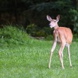 Adult size of white tailed deer Fifty