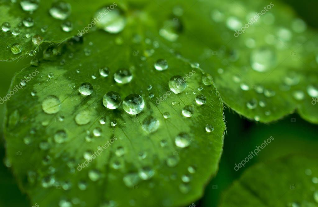 green, emerald clover leaf covered with sparkling dew or rain drops: leaves after rain, macro, natural backgrounds