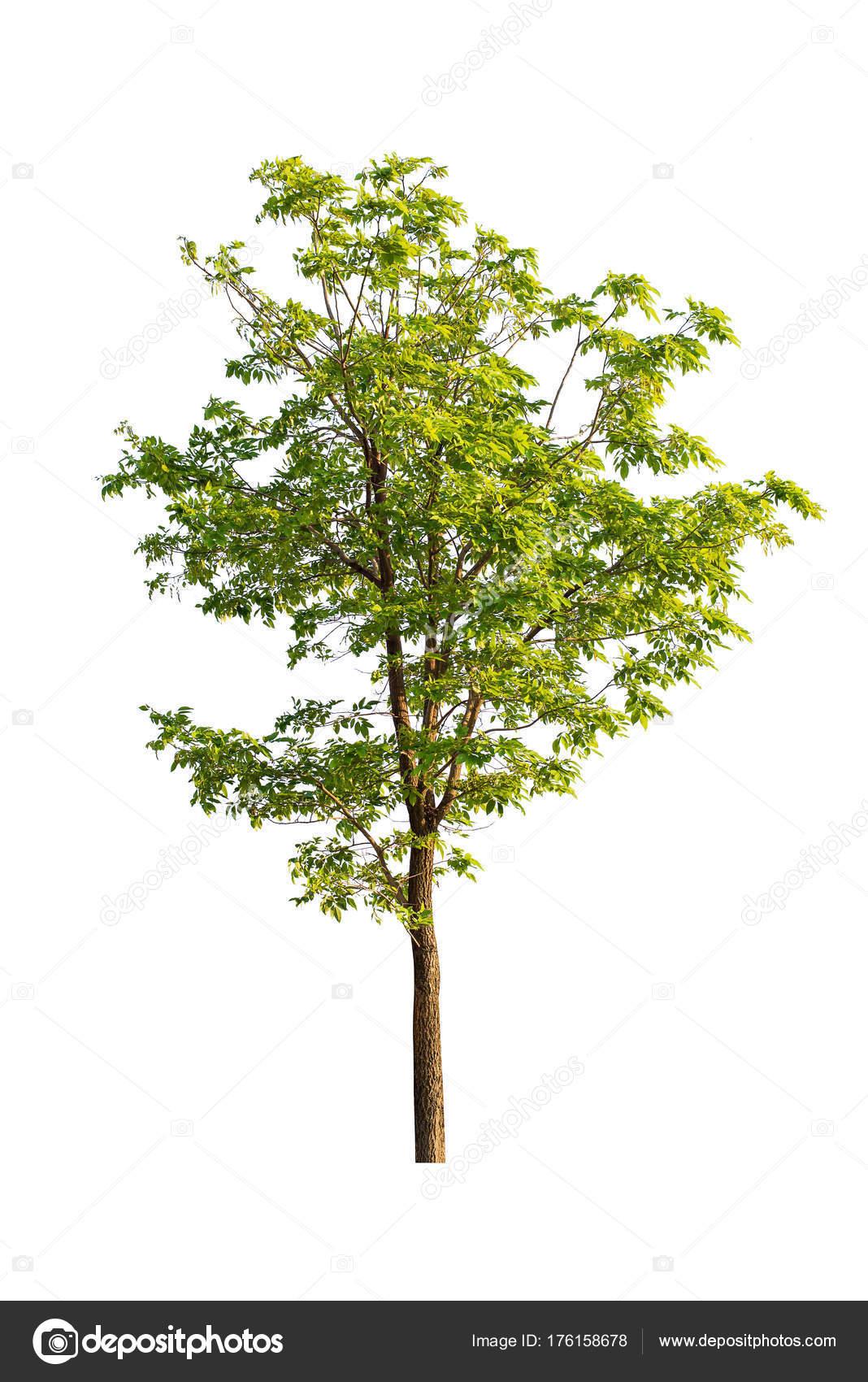 árbol Aislado Sobre Fondo Blanco Stockfoto Songpin 176158678