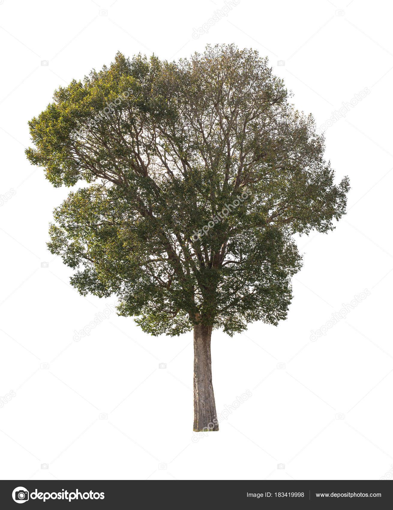 árbol Aislado Sobre Fondo Blanco Stockfoto Songpin 183419998
