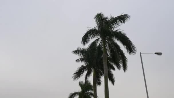 Palm tree tops panorama