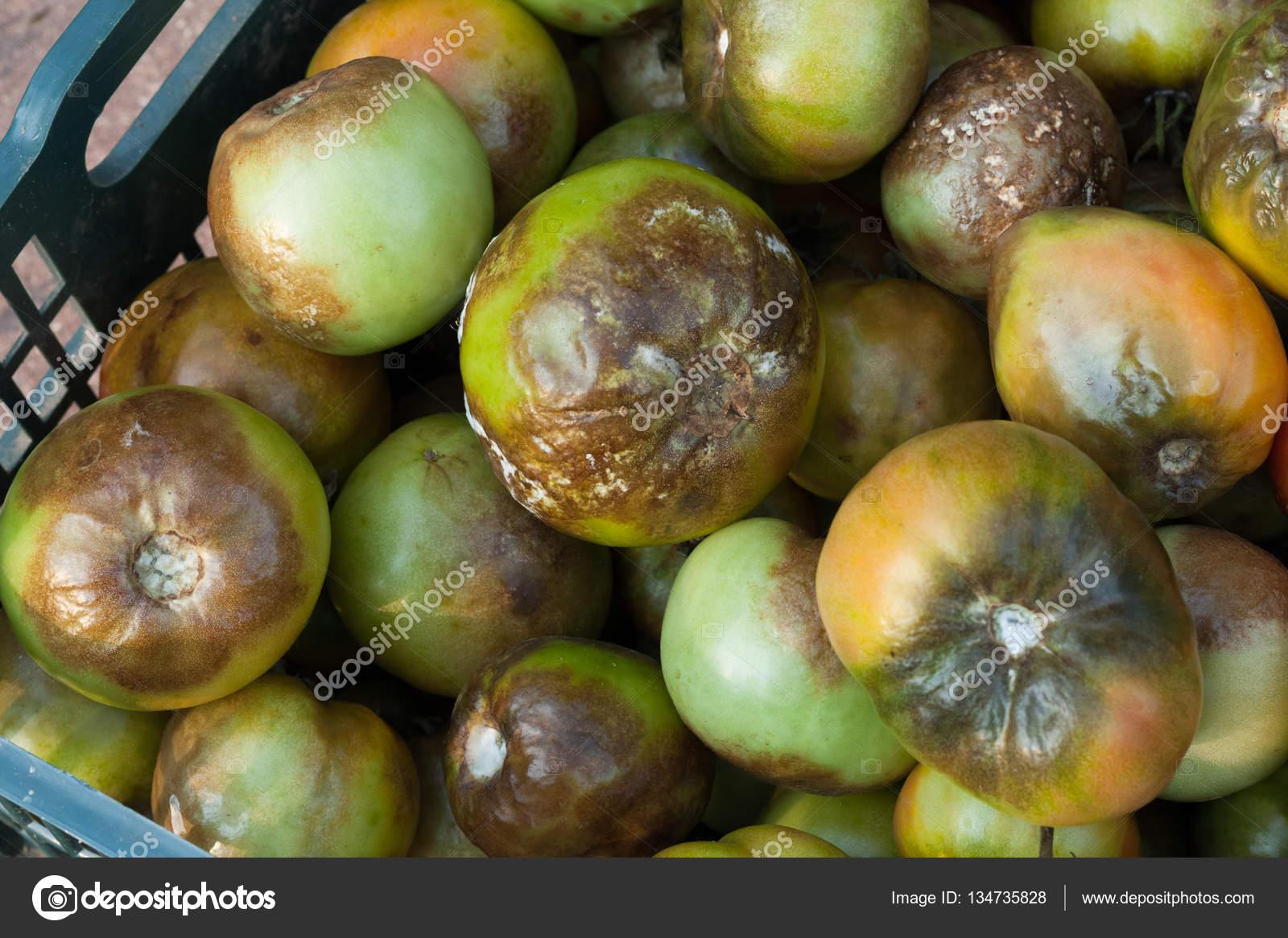 Malattie del pomodoro foto stock elena mas 134735828 for Malattie pomodoro