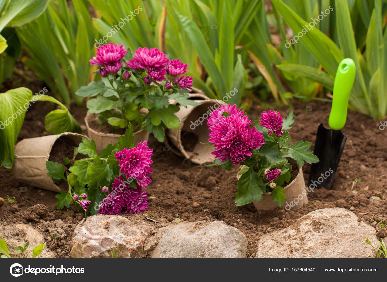 Chryzantemy Kwiaty W Doniczkach Torfowych W Ogrodzie Zdjecie